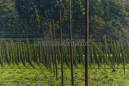 germany bavaria attenhofen hop harvest