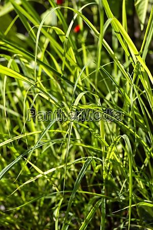 green lemon grass growing outdoors