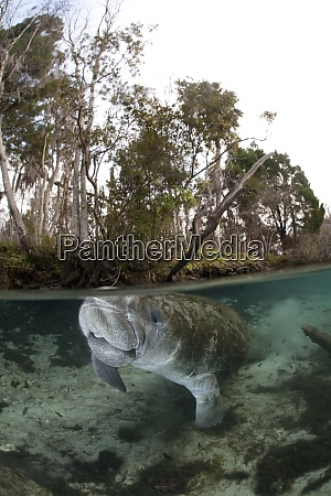 usa florida west indian manatee