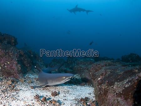 costa rica white tip reef shark