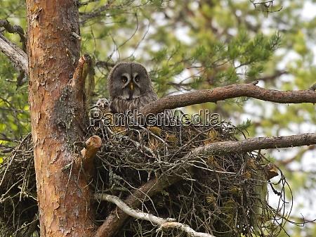 great grey owl strix nebulosa with
