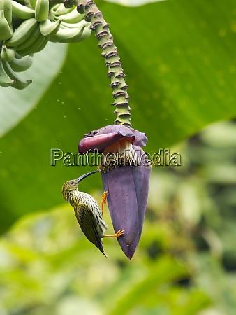 thailand streaked spiderhunter hanging on banana