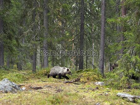 finland kainuu young brown bear
