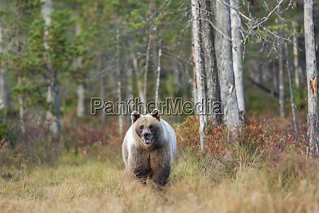 finland kainuu brown bear