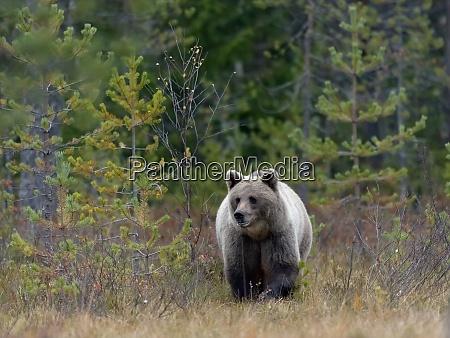 finland north karelia brown bear in