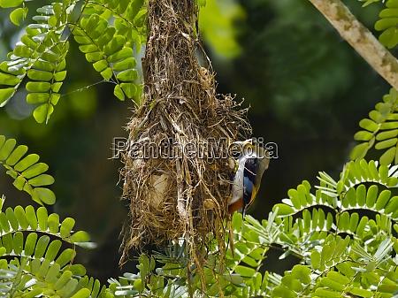 thailand kaeng krachan silver breasted broadbill