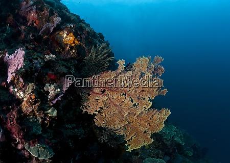 indonesia bali nusa lembongan fan coral