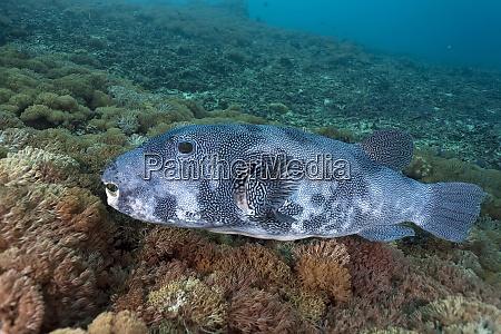 indonesia bali nusa lembongan large pufferfish