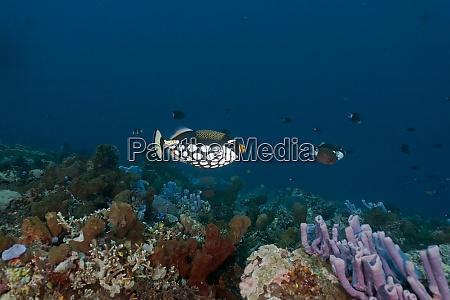 indonesia bali nusa lembongan clown triggerfish
