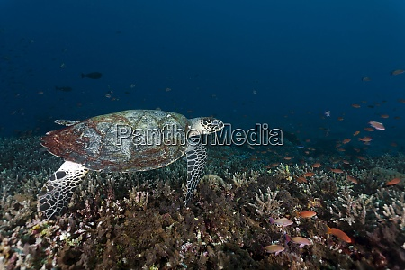 indonesia bali nusa lembongan hawksbill turtle