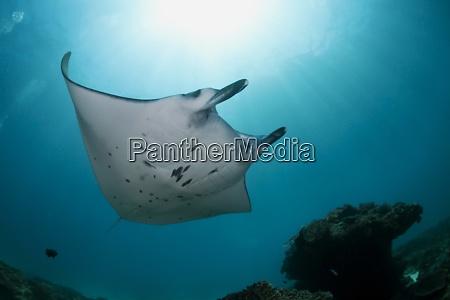 indonesia bali nusa penida reef manta