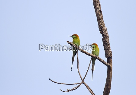 thailand chiang dao green bee eaters