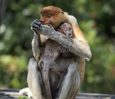 borneo sabah proboscis monkeys nasalis larvatus