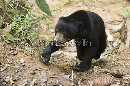malaysia borneo sepilok sun bear