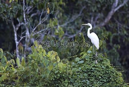 borneo ardea alba great white egret