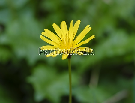 yellow blooming daisy aposeris foetida
