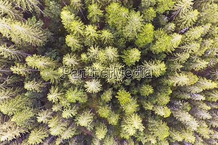 drone view of green spruce trees