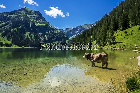 austria tyrol cow standing ankle deep