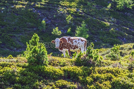 cow standing on mountain at turracher