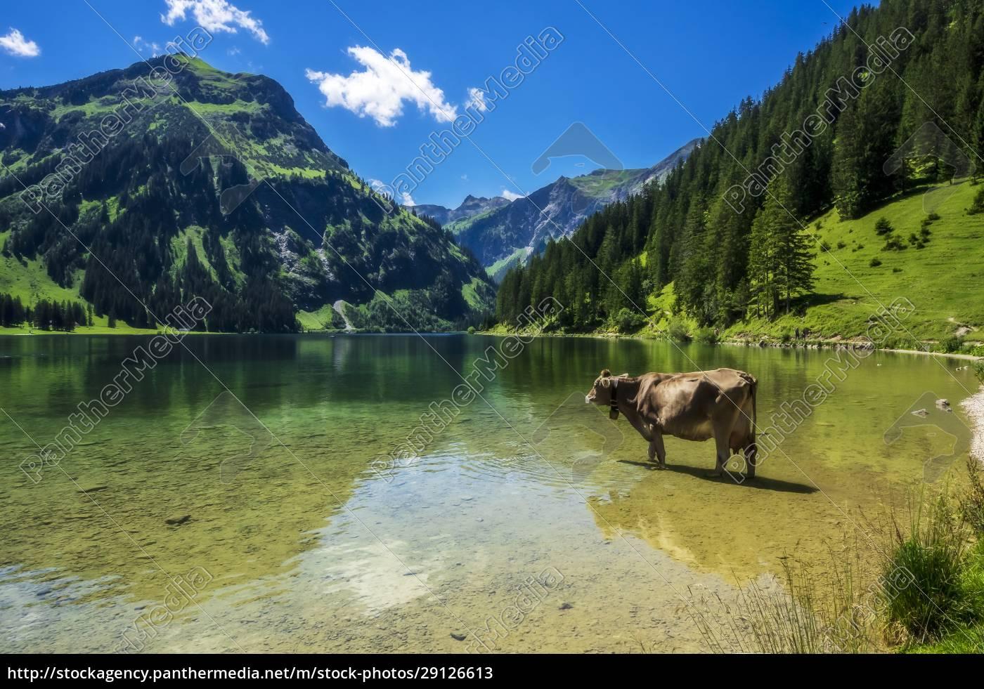 austria, , tyrol, , cow, standing, ankle, deep - 29126613