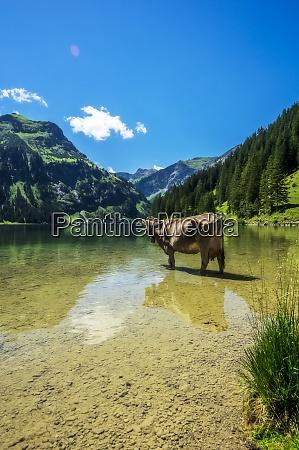 austria, , tyrol, , cow, standing, ankle, deep - 29126614
