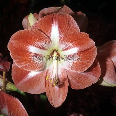 amaryllis ritterstern