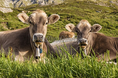 portrait of two cows relaxing in