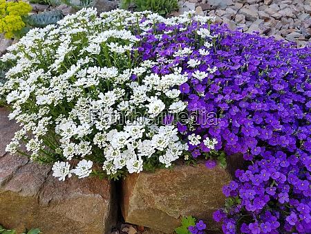 blaukissen aubrieta schleifenblume iberis