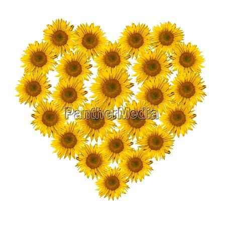 blumenherz sonnenblume helianthus annuus