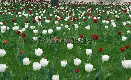 wiese tulpen