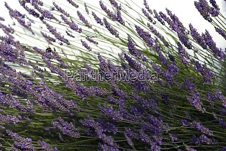 lavendel lavendula angustifolia