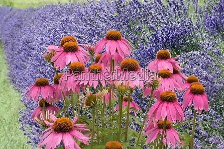 lavendel lavendula angustifolia roter sonnenhut
