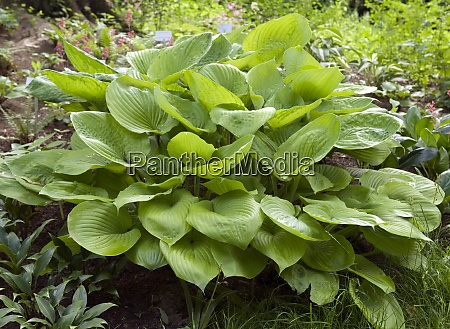 funkie hosta sum and substance