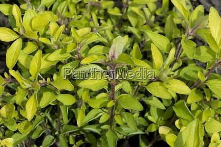 goldmajoran gold majoran majoran origanum vulgare