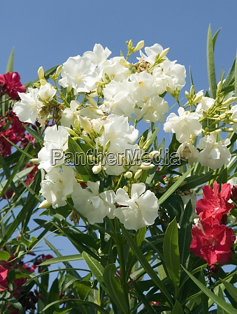 oleander weiss