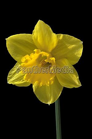 osterglocken narcissus pseudonarcissus