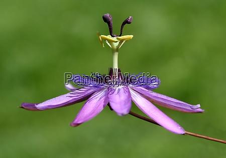 passionsblume passiflora violacea