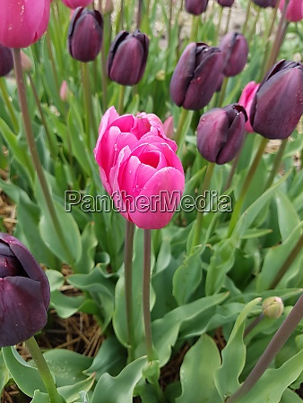 strike me pink tulpenbluete