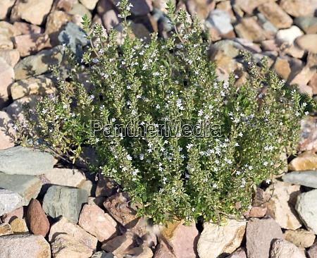 piemontesischer limonenthymian thymus species