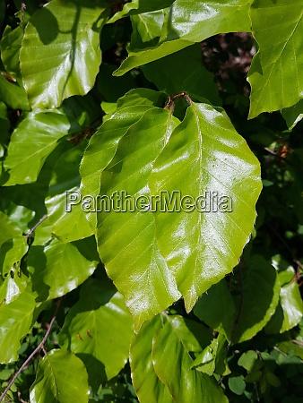 buchenblatt rotbuche fagus sylvatica