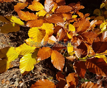 buchenwald herbst rotbuche fagus sylvatica