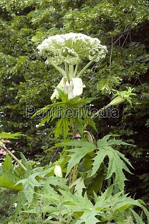 herkulesstaude riesenbaerenklau heracleum mantegazzianum