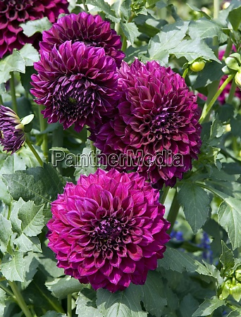 riesen dekorative dahlie purple joy