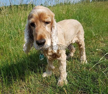 cocker spaniel canis lupus familiaris