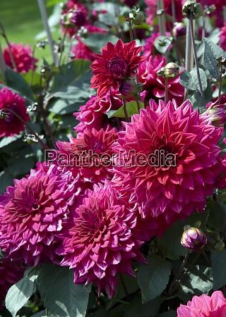 dekorative dahlie suffolk punch