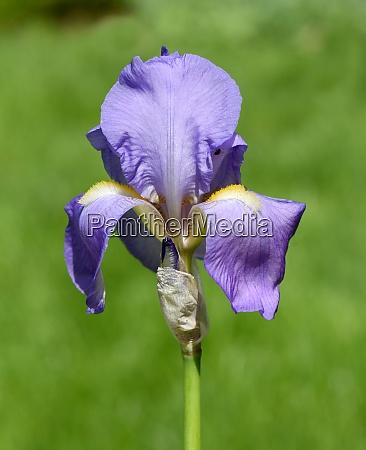 deutsche schwertlilie iris