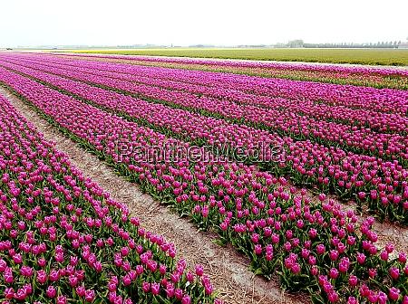 tulpenfelder julianadorp nordholland
