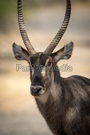 close up of male common waterbuck