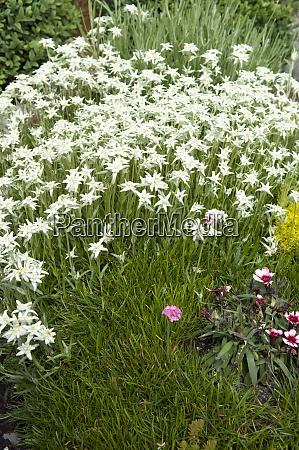 edelweiss grabbepflanzung
