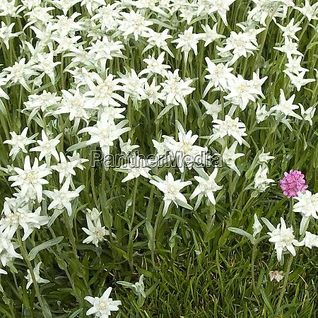 edelweiss alpenblume